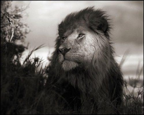 b_w_lion